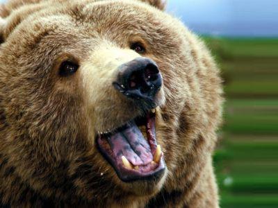 Pânda ursului